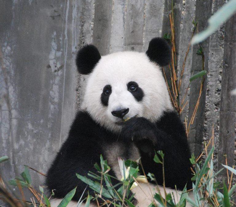 a panda happily munching on bamboo