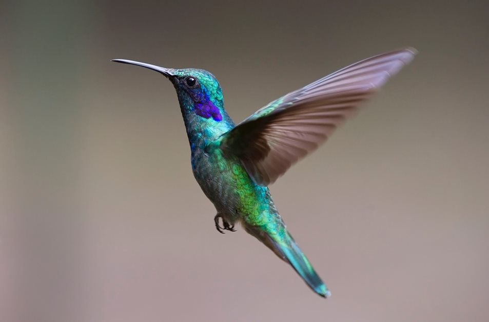 a colourful humming bird in mid flight